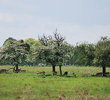 Deer in Bushy Park, London by Helen Greenwood