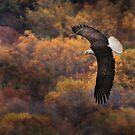 Bald Eagle in Autumn by Lori Deiter