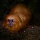 Golden Lion Tamarin by Kymie