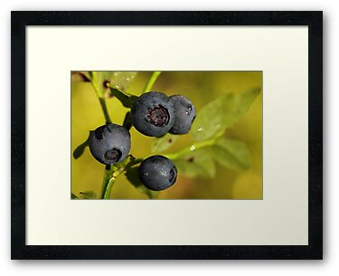 Wild Blueberries by Irina Chuckowree
