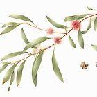 Hakea laurina - Pincushion Hakea by Cheryl Hodges