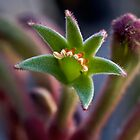 Kangaroo paw for iPad by Celeste Mookherjee