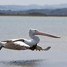 Pelican Takes Flight by Will Hore-Lacy