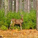 Doe in the Woods by Thomas Young