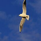 Seagull in flight by flashcompact