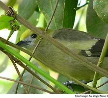 Palm Tanager, Asa Wright Nature Centre, Trinidad. by santimanitay