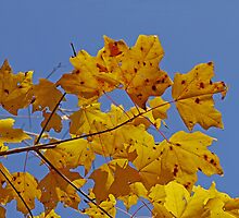 Yellow Leaves by Evelyn Laeschke