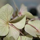 pale hydrangea by Somerset33