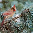 Female Northern Cardinal by Michael Cummings