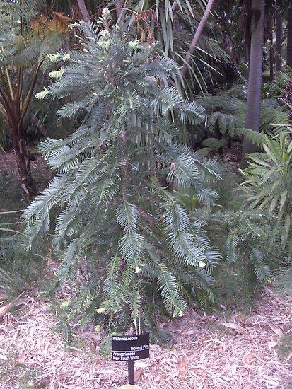 Wollemi Pine by AmandaWitt