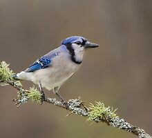 Blue Jay by Daniel Cadieux