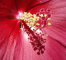 Closeup of Rose Mallow Stamen by danalynn