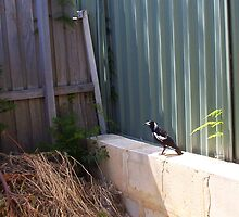 Magpie - 07 11 12 -  Four by Robert Phillips