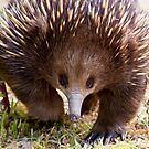 Echidna Prowl by Will Hore-Lacy