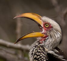 African Art Southern Yellow Billed Hornbill by Leigh Diprose
