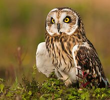 Short eared Owl posing in the evening sun by Daniel Jarvis wildlife and nature photography