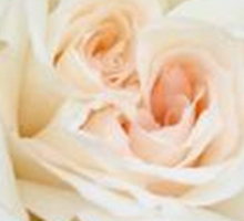 Close Up View Of A Beautiful White Rose. Sticker