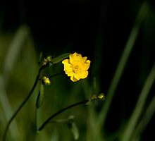 Buttercup by Sue Robinson