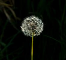 Dandelion clock by Sue Robinson