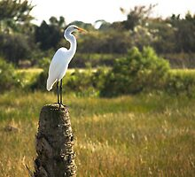Great Egret at Viera Wetlands by ValeriesGallery