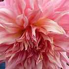 Dahlia #20 by Sarah Curtiss