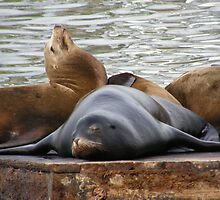 Sealions Sleeping On The Pier by Diego  Re