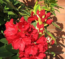 Red Rhodo Buds and Blossoms by kathrynsgallery