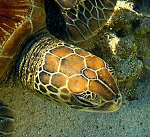 Green Sea Turtle in the Great Barrier Reef by Jaxybelle