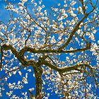Almond Blossum inspired by Vincent van Gogh by Hungaro