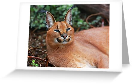 Felix the Caracal  by Cameron B