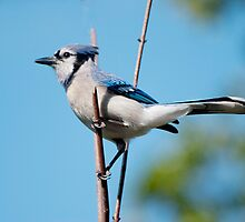 Blue Jay by barnsis
