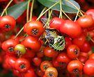 Beetle on Pyracantha by Eileen McVey