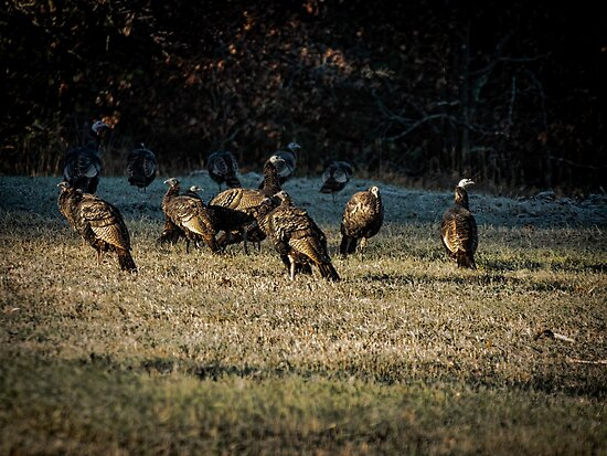 Flock Of Wild Turkeys by Thomas Young
