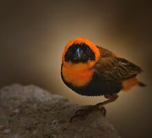 Southern Red Bishop by Delfino