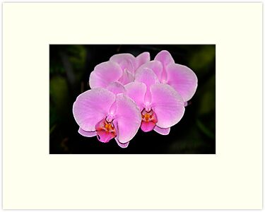 Pink Orchids, all in a row by cclaude