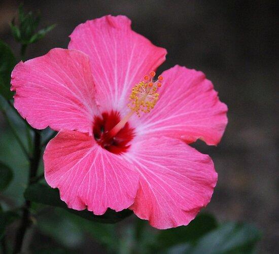 Pink Hibiscus by Rose Landry