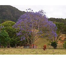 In the Paddock - Rural Jacaranda Photographic Print