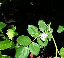Cabbage Moth Three - 11 11 12 by Robert Phillips