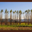 Populus tremula by elenkalo