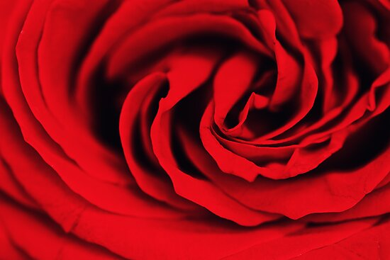 The Spiral of a Rose by April Koehler