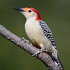 Red-Bellied Woodpecker by Rob Lavoie