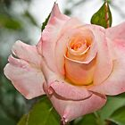 A Rose by Carolyn Clark