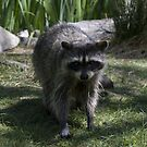 Raccoon by Confundo