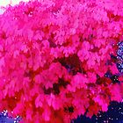 Watercolor Fuschia bush by agreement