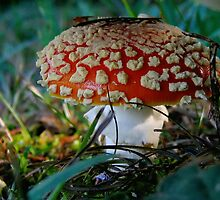 Red amanita mushroom  by alex skelly