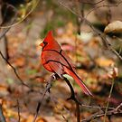 Red Cardinal by Confundo