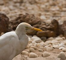 Cattle Egret head shot by Sue Robinson