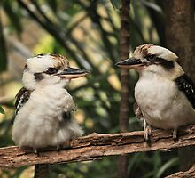Kookaburras by Sea-Change
