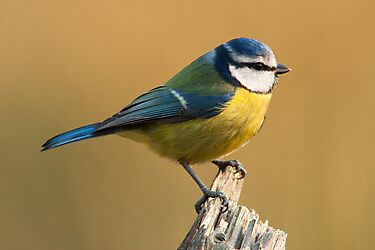 Blue Tit  by DamianK