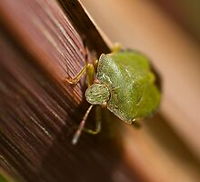 Green Shield Bug on leaf by Sue Robinson